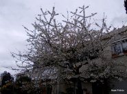 Cherry Blossom, Toulouse (2)