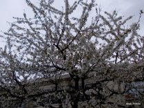 Cherry Blossom, Toulouse (3)