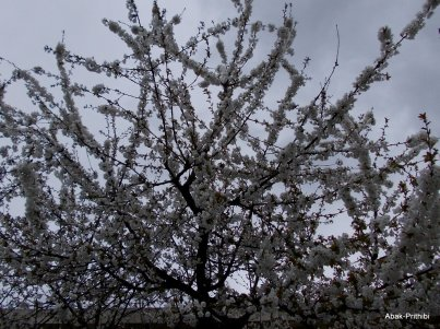 Cherry Blossom, Toulouse (4)