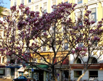 Magnolia @ Toulouse (12)