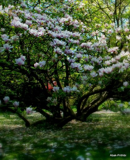 Magnolia @ Toulouse (3)