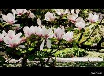 Magnolia @ Toulouse (4)