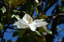 Magnolia @ Toulouse (9)