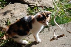 felis-catus (5)