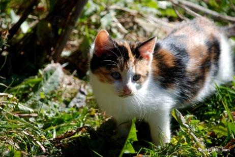 felis-catus (7)