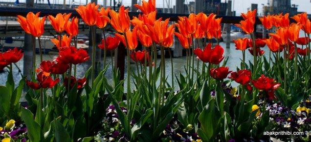 tulip-flowers (1)