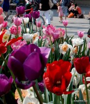 tulip-flowers (10)