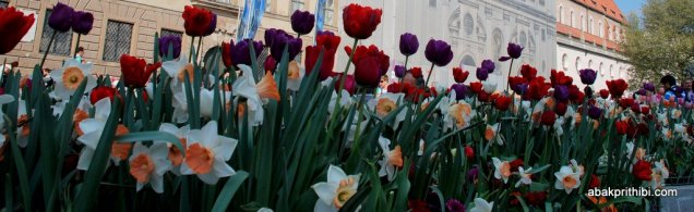 tulip-flowers (11)