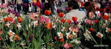 tulip-flowers (12)