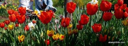 tulip-flowers (2)