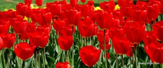 tulip-flowers (3)