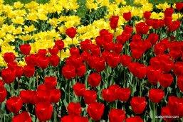 tulip-flowers (4)