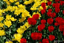 tulip-flowers (5)