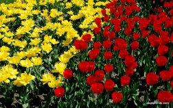 tulip-flowers (6)
