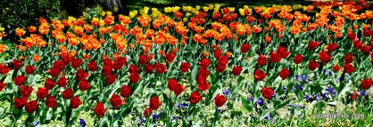 tulip-flowers (7)