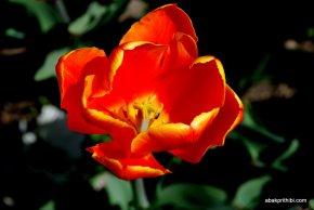 tulip-flowers (8)