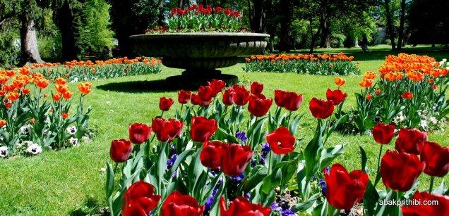 tulip-flowers (9)