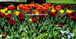 Tulip garden (10)