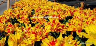 Tulip garden (11)