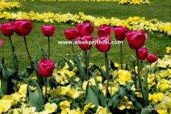 Tulip garden (12)