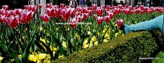 Tulip garden (13)