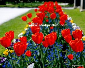 Tulip garden (1)