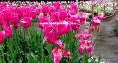 Tulip garden (2)