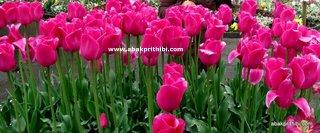Tulip garden (4)