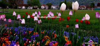 Tulip garden (5)