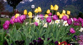 Tulip garden (6)