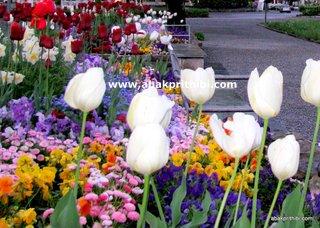Tulip garden (7)