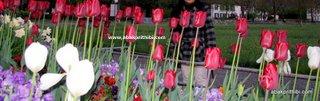 Tulip garden (8)
