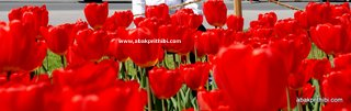 Tulip garden (9)