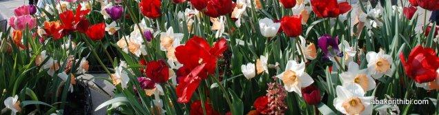 Daffodils (2)