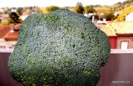 Broccoli (3)