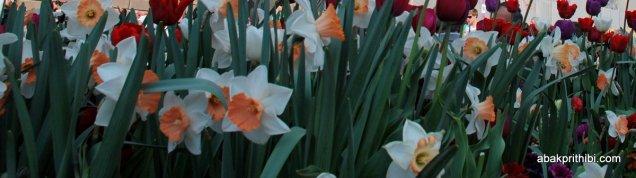 Daffodils (4)