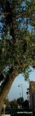 olive tree (1)