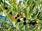olive tree and olive (1)