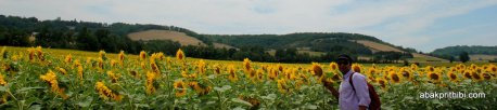 Sunflower field in South of France (1)