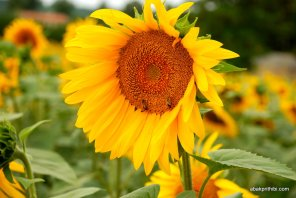 Sunflower field in South of France (10)