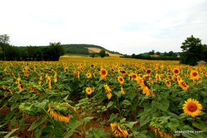 Sunflower field in South of France (11)
