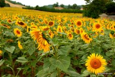 Sunflower field in South of France (12)
