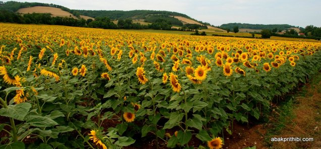 Sunflower field in South of France (13)