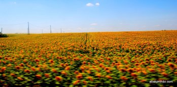 Sunflower field in South of France (2)