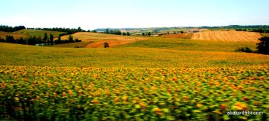 Sunflower field in South of France (3)
