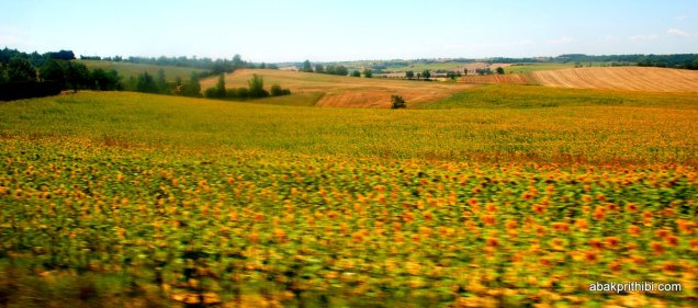Sunflower field in South of France (4)