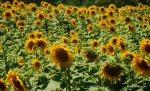 Sunflower field in South of France (5)