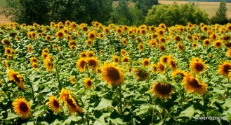 Sunflower field in South of France (6)