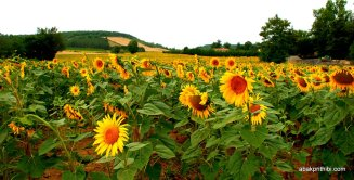 Sunflower field in South of France (7)