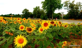 Sunflower field in South of France (8)